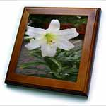 click on Easter Lily Flower - Photography Flowers to enlarge!