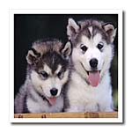 click on 2 Alaskan Malamute Puppies to enlarge!