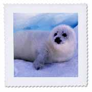 3dRose - Danita Delimont - Seals - Gulf of St. Lawrence, Harp Seal-CN14 GJE0027 - Gavriel Jecan - Quilt Squares at Sears.com