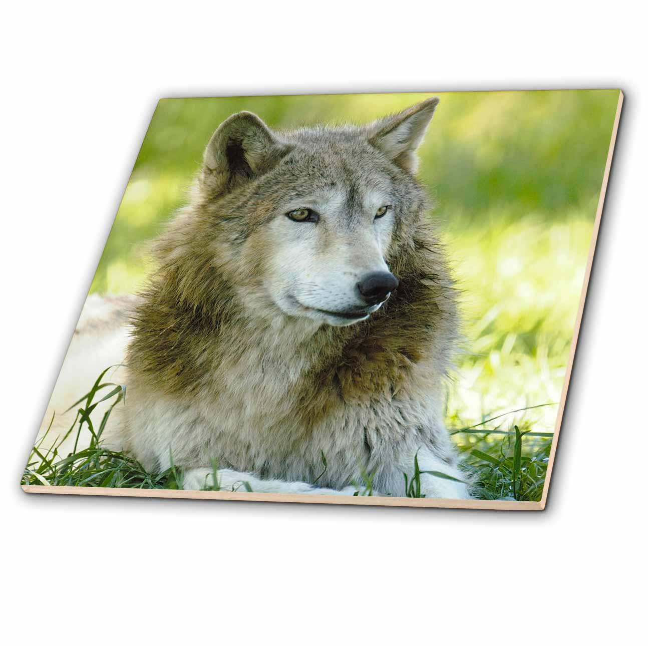 3dRose - Danita Delimont - Wolves - Gray Wolf, Timber Wolf. Bear World, Wyoming. USA - US51 POX0035 - Pete ...