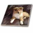 click on Rough Collie Puppy to enlarge!