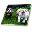 click on English Bulldogs in Play to enlarge!
