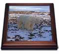 click on Polar Bear (Ursus maritimus) in Northern Arctic Churchil Canada to enlarge!